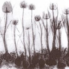 Tulips : Solar Etching : Annabelle Deutsch